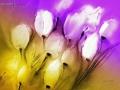 Tulpen im Wind III